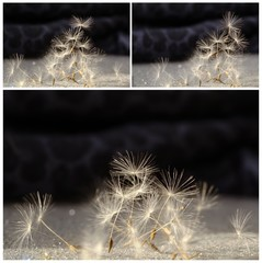 Funeral collage with dandelion seeds