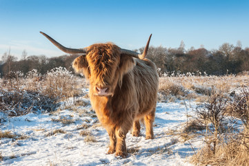 Highland cow with horns and invisible eyes because of its long h