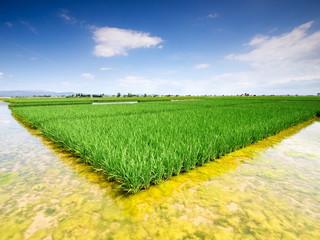 Rectangular rice field