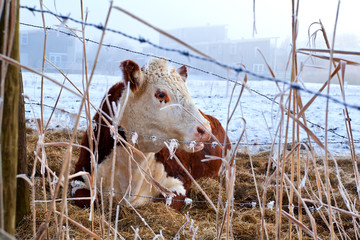 cow in winter outdoors