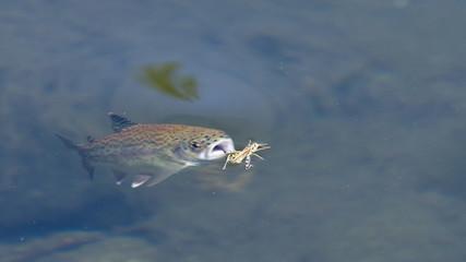 Trucha arcoiris a punto de comer un insecto, pez, saltamoentes.