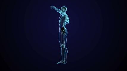 Human anatomy - CG animated seamless loop