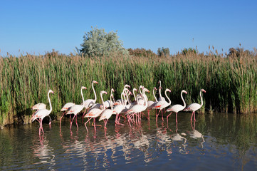 Flamants roses de Camargue.