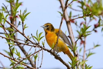 Oriole Orange