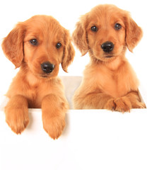 Golden Irish puppies