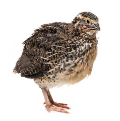 a quail isolated on a white background