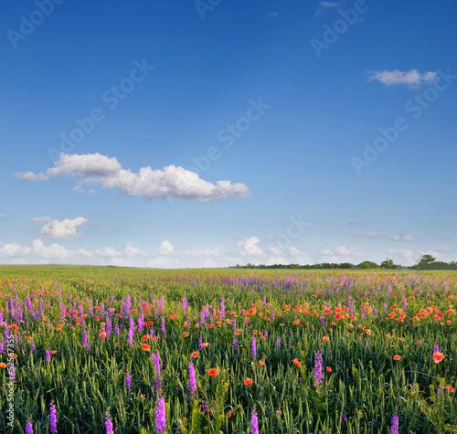 Fototapeten,lavendel,wolken,feld,schönheit