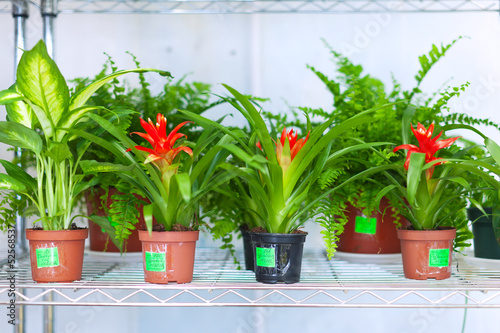Shelves with Guzmania and Dieffenbachia in pots