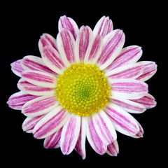Pink Striped Daisy