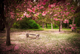 Tranquil garden bench surrounded by cherry blossom trees - 52571978