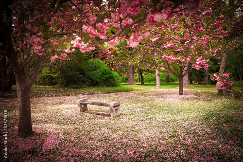 Fotobehang Kersen Tranquil garden bench surrounded by cherry blossom trees