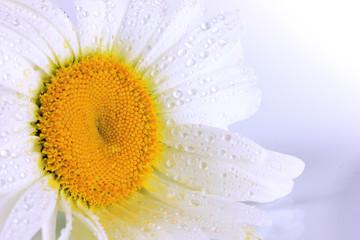 Wet chamomile close-up isolated on white
