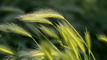 spighe d'erba nel vento