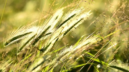 spighe d'erba al tramonto