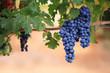 Ripe black grapes on vine