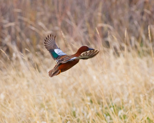 Cinnamon Teal in flight