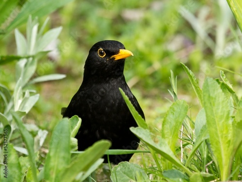 Eurasian common blackbird lurking from behind plants