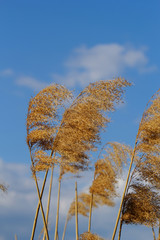 Reed in cloudy bright weather,
