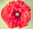 Single red poppy flower on vintage  background