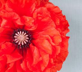 A big poppy flower on vintage background