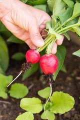 Hand hält Radieschen im Gemüsebeet