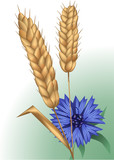 spikelets and cornflower
