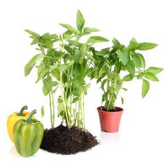 Pepper seedlings isolated on white