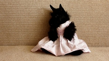 Scottish Terrier dog in a dress