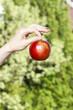 Red ripe single apple in beautiful hand on green garden backgrou