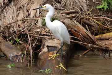 Garceta Nívea (Egretta Thula) Costa Rica