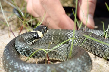 grass snake in front of the hand close-up