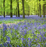 bluebell woods ashridge berkhamsted hertfordshire poster