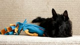 Scottish terrier puppy chewing on a toy lying on the couch