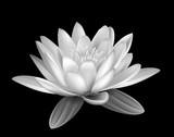 Water lily black and white