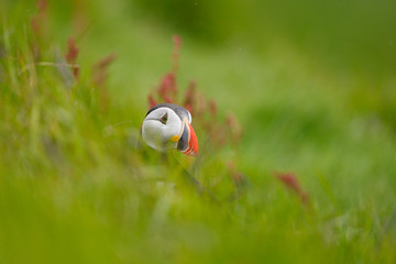 Atlantic Puffin in grass with shallow depth of field.