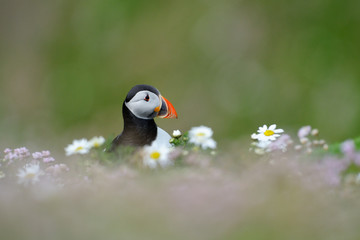 Atlantic Puffin in flowers with shallow depth of field.
