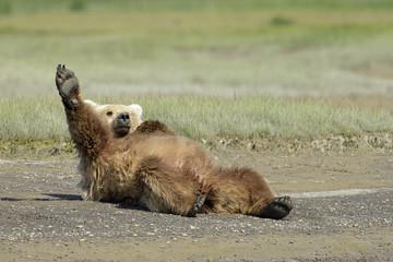 Grizzly Bear lying on beach and stretching