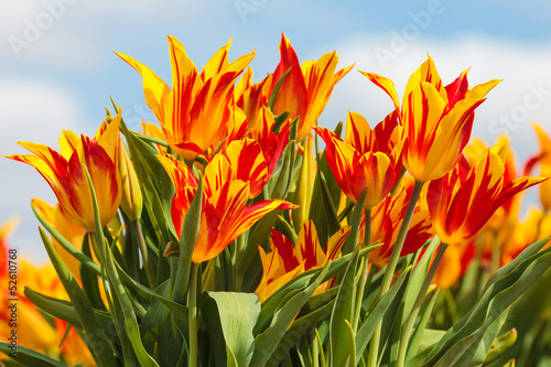 Red with yellow tulips on a Dutch farm field