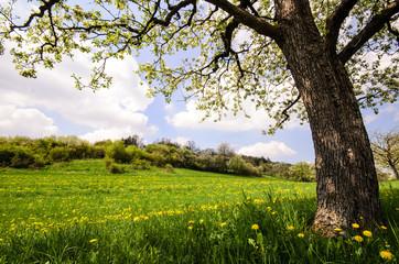 Auszeit im Frühling: Löwenzahnwiese mit Kirschbaum