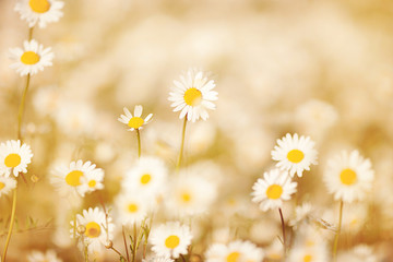 Daisies on meadow with beautiful light effect