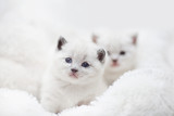 Two cute white kitten