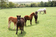 Group of young foals grazing