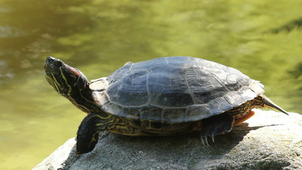 Red Eared Slider Turtle Resting