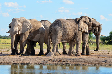elephants in Nxai pan national park in Botswana