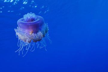 Cauliflower jellyfish, Cephea cephea, with space for your text