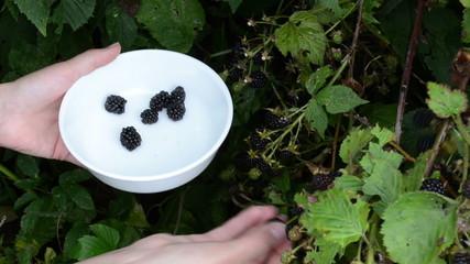 woman hand gather ripe dewberry black berry rubus bush dish