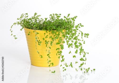 Green plant in yellow pot