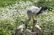 Cicogna con prole nel suo nido