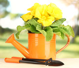 Beautiful yellow primula in watering can