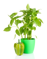 Pepper seedlings in flowerpot isolated on white